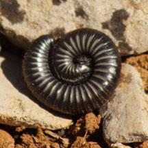 Tachypodoiulus sp