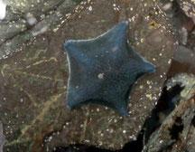 Araignée de mer (Patiriella regularis)