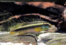 Pelvicachromis, Cichliden, Buntbarsche, Westafrika, online kaufen, online Shop