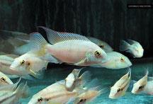 Pelvicachromis, Cichliden, Buntbarsche, Westafrika, Nürnberg Shop