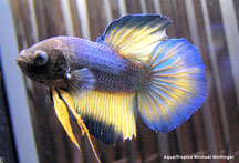 Labyrinthfische kampffische aqua tropica for Kampffische arten