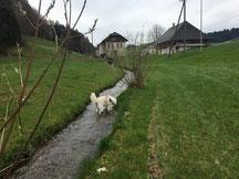 Blizzi, der bis letztes Jahr das Wasser immer umgangen ist, springt durch den Oeschenbach.