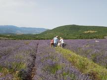 Feld mit echtem Lavendel