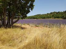 Lavendelfeld in der Nähe von Sault