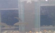 2-Kammern-Organismenwanderhilfe weitere Fische wandern