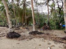 海岸浸食の影響を受けて、倒れかかっている浜辺の木々