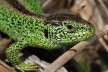 Zauneidechse, Männchen in grüner Paarungsfärbung, Foto: NABU, F. Derer