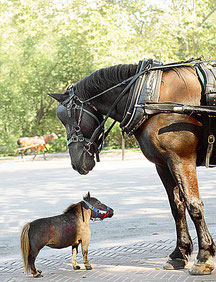 Thumbelina, the world´s smallest horse