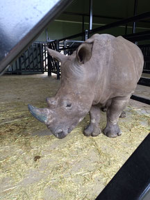 This young male rhino will hopefully fulfill his duties in the Australian breeding farm  -  photo: a. hartrodt