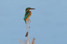2014 Eisvogel im Ebro-Delta