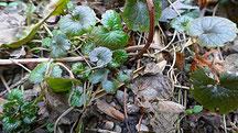 Gundelrebe oder Gundermann (Glechoma hederacea), auch Herr des Eiters genannt
