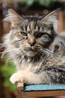 urwüchsige Aussehen dieser Katzen - Rasse Maine Coon