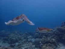 石垣島でのんびりダイビング、コブシメの産卵に遭遇