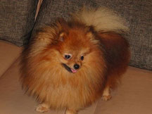 шпиц, померанец, карликовый шпиц, Pomeranian, Dwarf Spitz