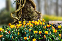 "Bild: tree with tulips in the Keukenhof, Netherlands, ""the tulip tree""; www.2u-pictureworld.de"