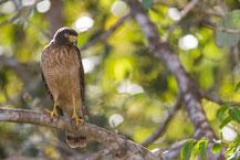 Wegebussard, Roadside hawk, Rupornis magnirostris