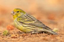 Kanarengirlitz, Serinus canaria, Atlantic canary