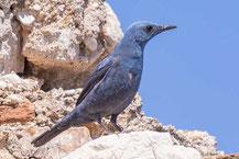 Blaumerle,  Blue Rock Thrush, Monticola solitarius