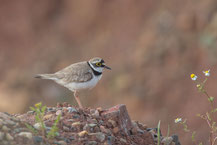 Flussregenpfeifer (Charadrius dubius) - Little ringed plover
