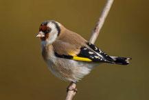 Stieglitz; Carduelis carduelis; Goldfinch