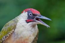 Grünspecht  (Picus viridis); Green Woodpecker