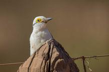 Weißspecht (Melanerpes candidus);  White Woodpecker