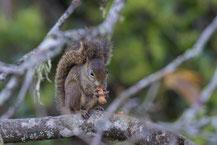 Guyana-Hörnchen