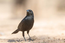 Chopistärling (Gnorimopsar chopi) - Chopi Blackbird. Pantanal Brasilien.