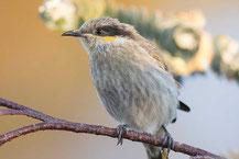 Pfeifhonigfresser, Singing Honeyeater, Gavicalis virescens)