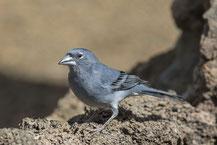 Teydefink, Fringilla teydea, Blue Chaffinch