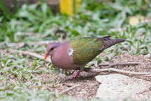 Braunkappen-Glanztaube (Chalcophaps longirostris) - Brown-capped Emerald Dove