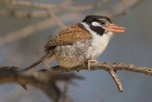 Weißohr-Faulvogel, Cerrado-Faulvogel (Nystalus chacuru); White-eared Puffbird