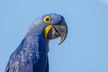 Hyazinth-Ara, hyacinth macaw, Anodorhynchus hyacinthinus
