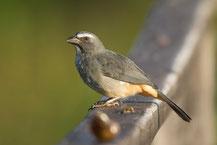 Grausaltator (Saltator coerulescens) - Greyish Saltator