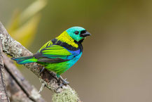 Dreifarbentangare; Tangara seledon; Green-headed Tanager