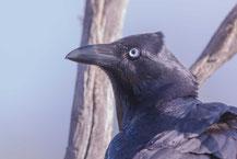 Gesellschaftskrähe (Corvus mellori)