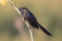 Glattschnabelani; Smooth-billed ani; Crotophaga ani