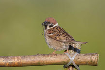 Feldsperling - Tree Sparrow