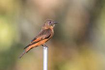 Schwalbentyrann (Hirundinea ferruginea); Cliff Flycatcher