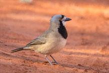 Haubendickkopf, Crested bellbird, Oreoica gutturalis