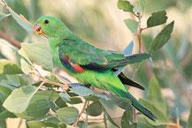 Rotflügelsittich, Red-winged parrot, Aprosmictus erythropterus
