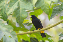 Gelbbürzelkassike (Cacicus cela) - Yellow-rumped Cacique