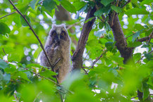 Waldohreule, Asio otus, Long-eared Owl