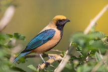 Isabelltangare; Tangara cayana; Burnished-buff tanager