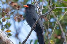 Schwarzstirntrappist (Monasa nigrifrons) ; Black-fronted Nunbird