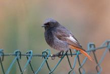 Hausrotschwanz - Black Redstart