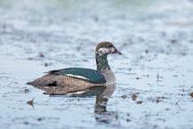 Australische Zwergente (Nettapus pulchellus) - Green pygmy goose