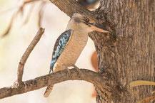 Haubenliest (Dacelo leachii) - Blue-winged Kookaburra