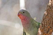 Alexandrasittich, Princess parrot, Polytelis alexandrae