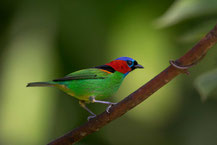 Blaukappentangare; Tangara cyanocephala; Red-necked Tanager